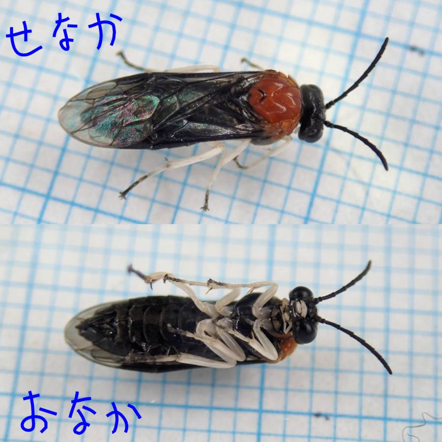 f:id:insectmoth:20170105014122j:plain