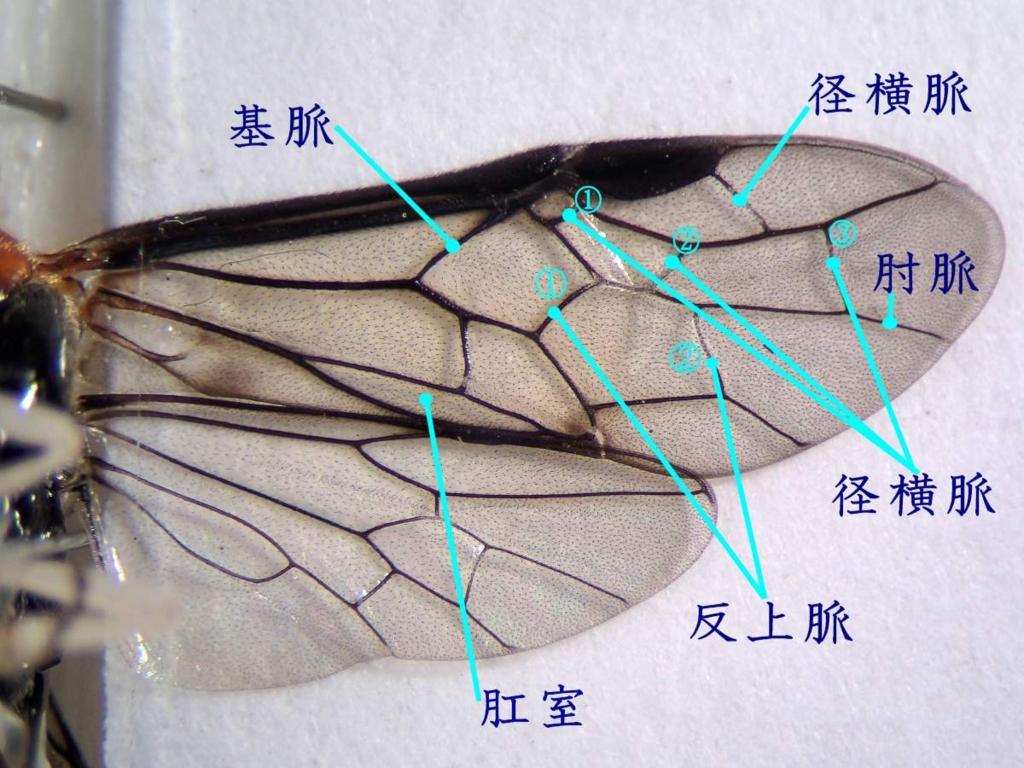 f:id:insectmoth:20170105014143j:plain