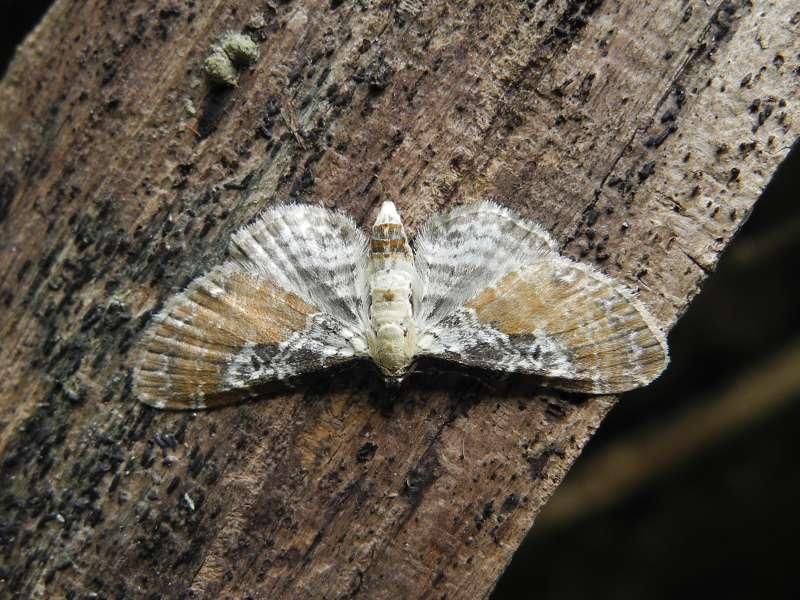 f:id:insectmoth:20170105122532j:plain