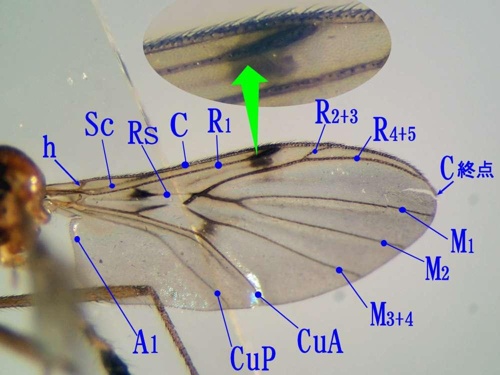 f:id:insectmoth:20170105155758j:plain