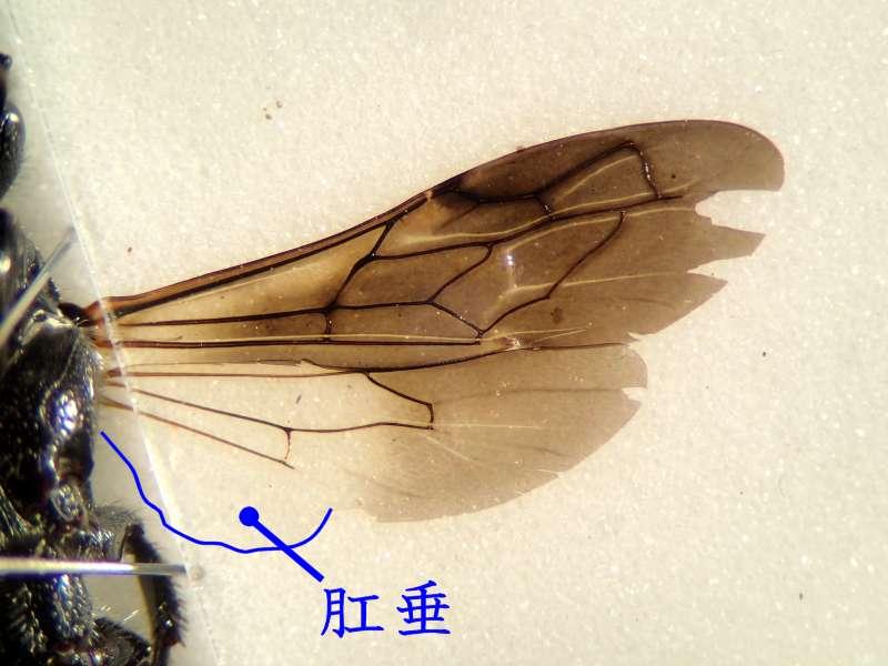 f:id:insectmoth:20170105170018j:plain