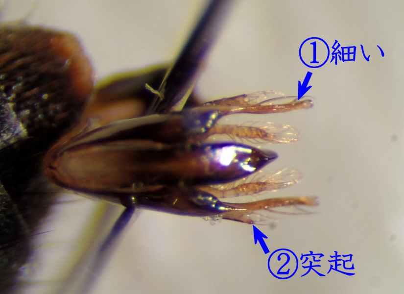 f:id:insectmoth:20170105171827j:plain