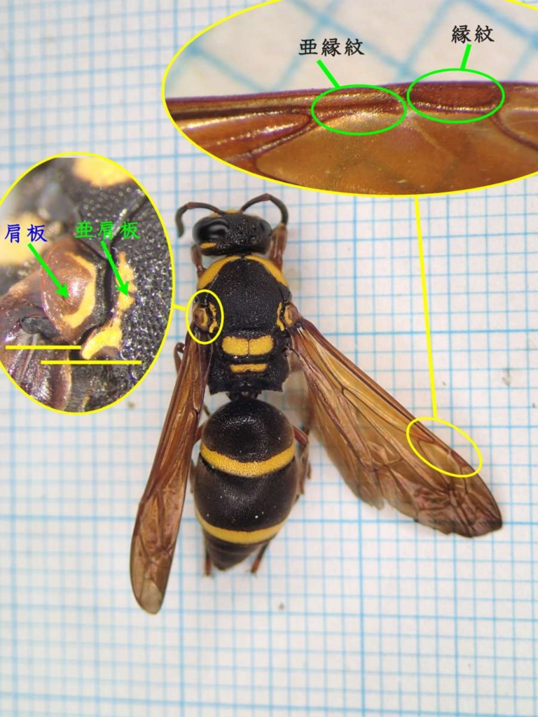 f:id:insectmoth:20170105172535j:plain