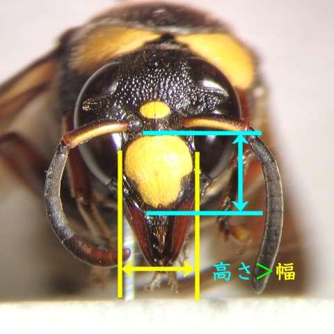f:id:insectmoth:20170105172611j:plain
