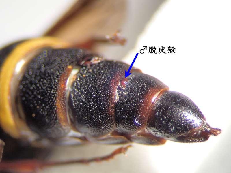 f:id:insectmoth:20170105172646j:plain