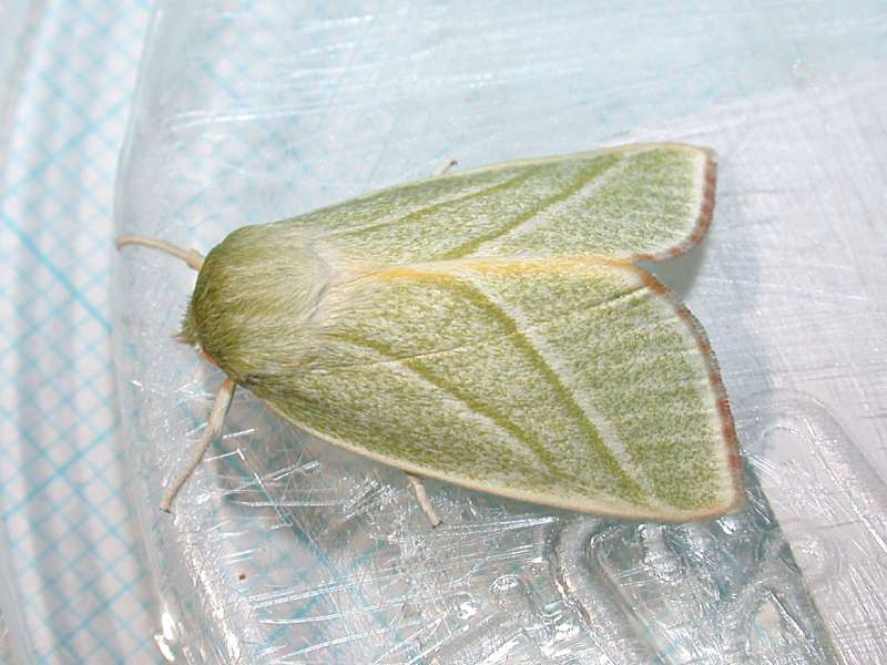 f:id:insectmoth:20170105174450j:plain