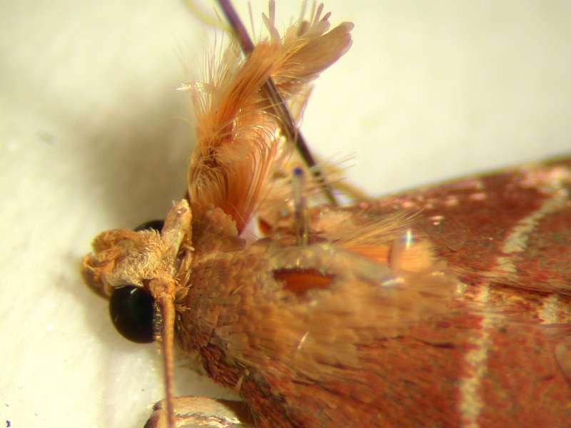 f:id:insectmoth:20170105174609j:plain
