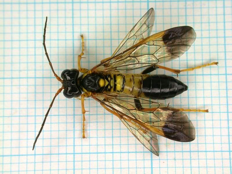 f:id:insectmoth:20170105181652j:plain
