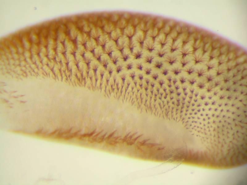 f:id:insectmoth:20170105181958j:plain