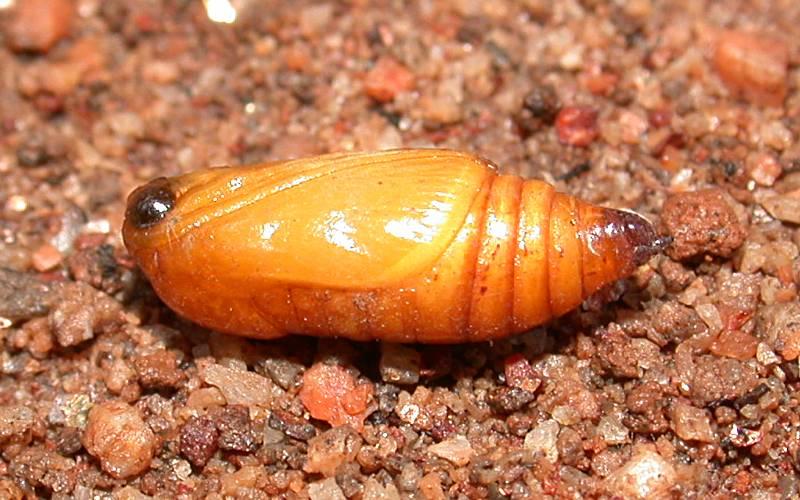 f:id:insectmoth:20170105182959j:plain