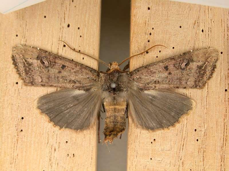 f:id:insectmoth:20170105230936j:plain