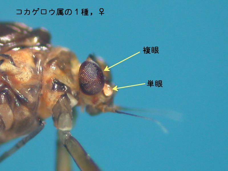 f:id:insectmoth:20170106102555j:plain