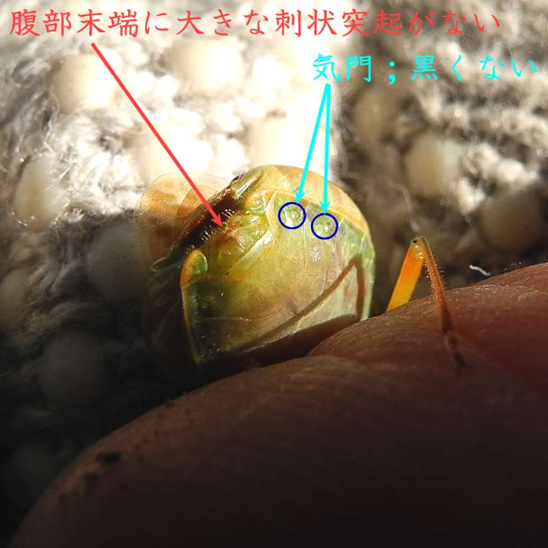 f:id:insectmoth:20170107075048j:plain