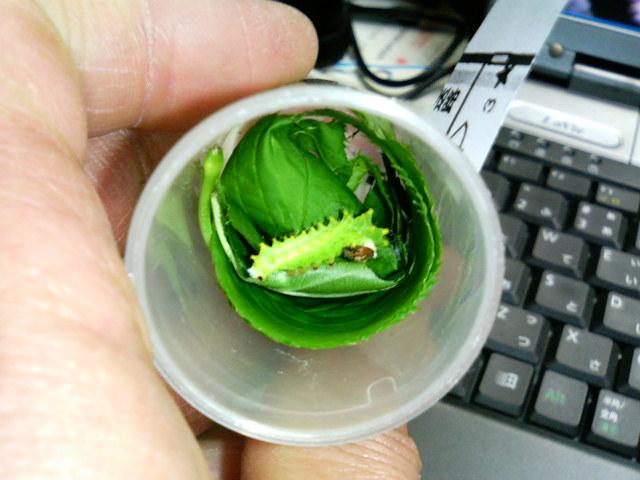 f:id:insectmoth:20170112001117j:plain