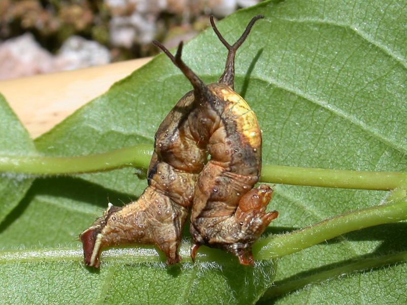 f:id:insectmoth:20170115173115j:plain