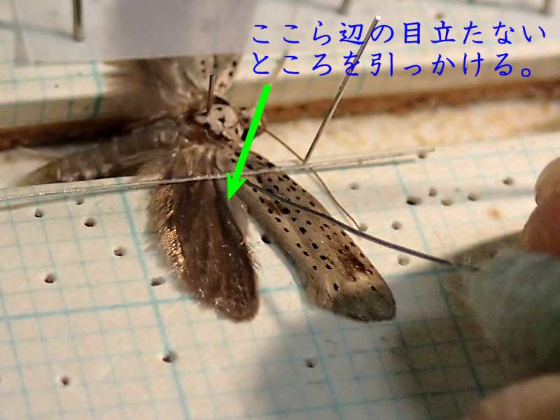f:id:insectmoth:20170205075523j:plain