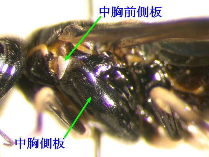 f:id:insectmoth:20170320231352j:plain