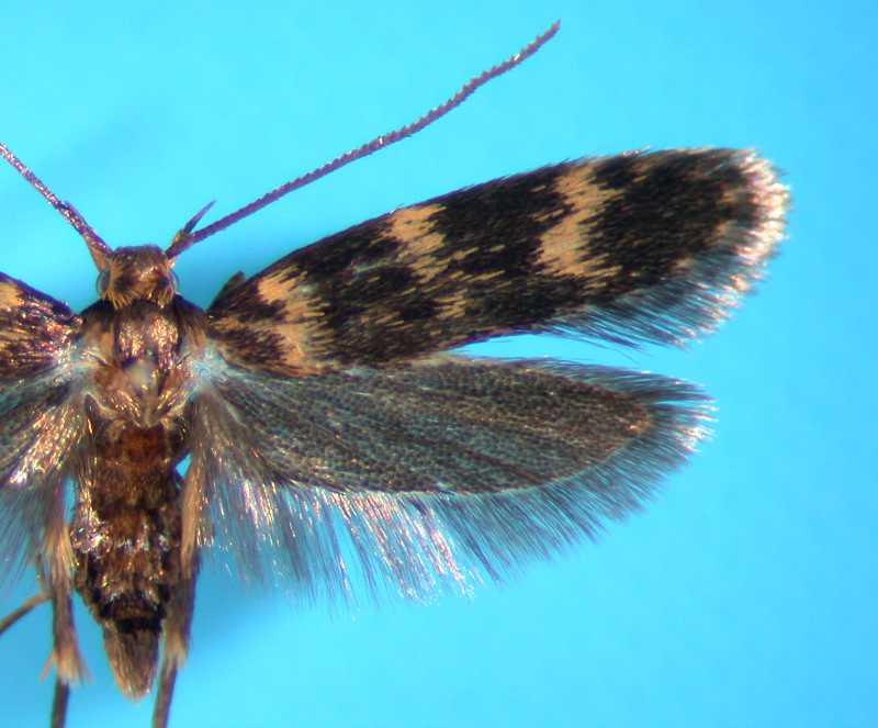 f:id:insectmoth:20170411183026j:plain