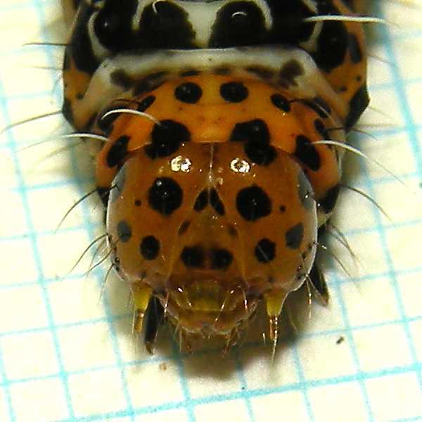 f:id:insectmoth:20170607174546j:plain