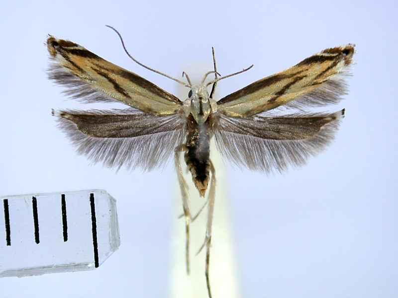 f:id:insectmoth:20170607174731j:plain