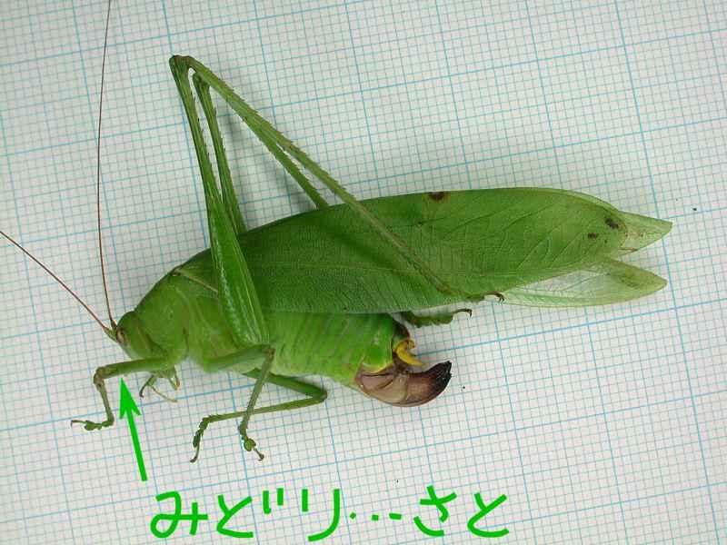 f:id:insectmoth:20170607182847j:plain