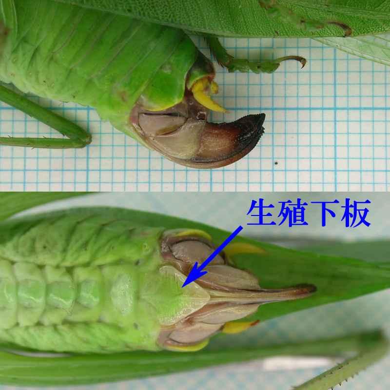f:id:insectmoth:20170607182918j:plain