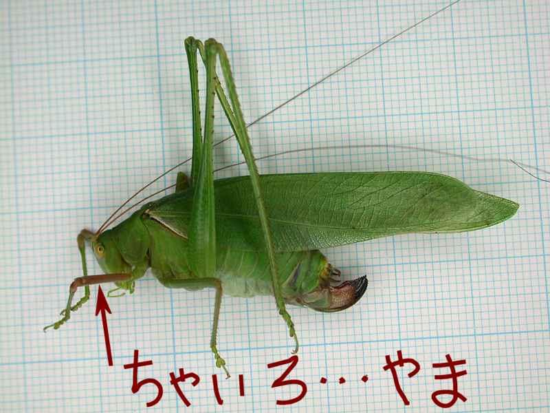 f:id:insectmoth:20170607182951j:plain