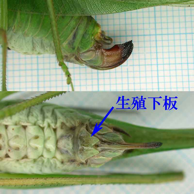 f:id:insectmoth:20170607183012j:plain