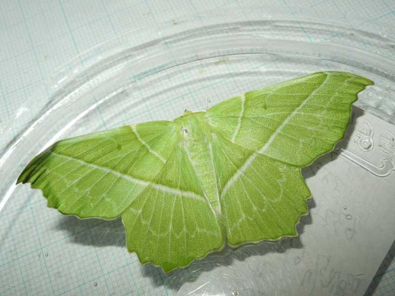 f:id:insectmoth:20170814131507j:plain