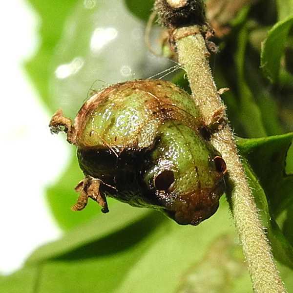 f:id:insectmoth:20170814142413j:plain