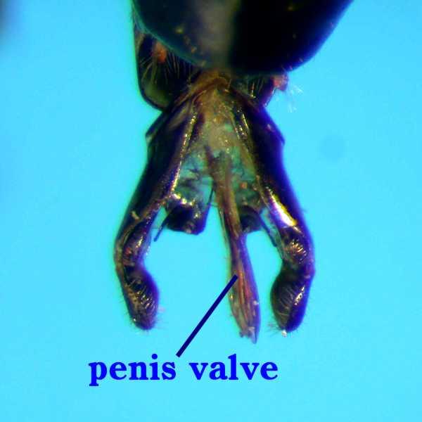 f:id:insectmoth:20170814151802j:plain