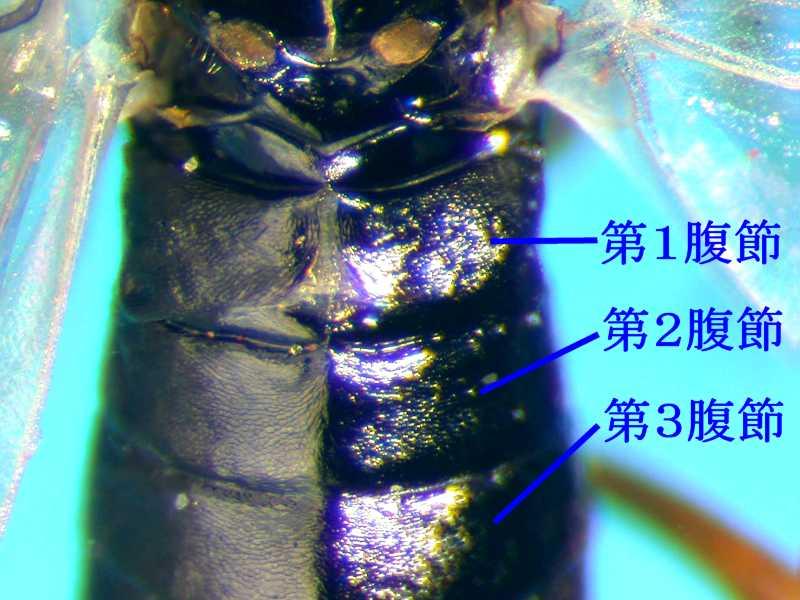 f:id:insectmoth:20170814152040j:plain