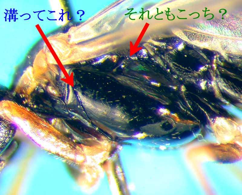 f:id:insectmoth:20170814152410j:plain