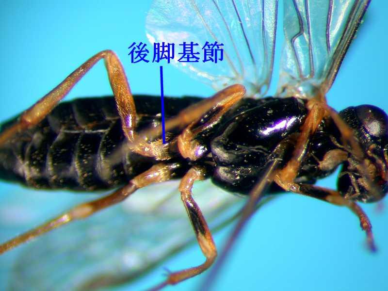 f:id:insectmoth:20170814152457j:plain