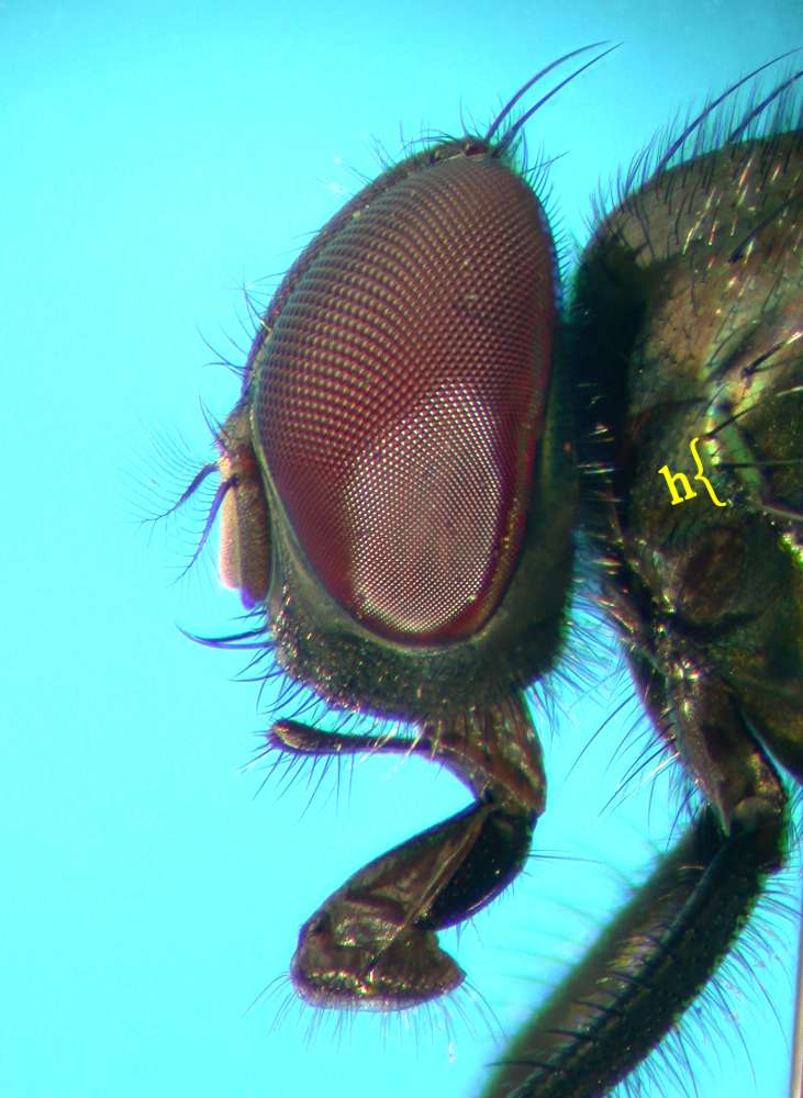 f:id:insectmoth:20170814155603j:plain