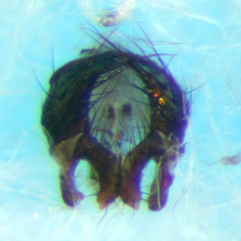 f:id:insectmoth:20170814160013j:plain