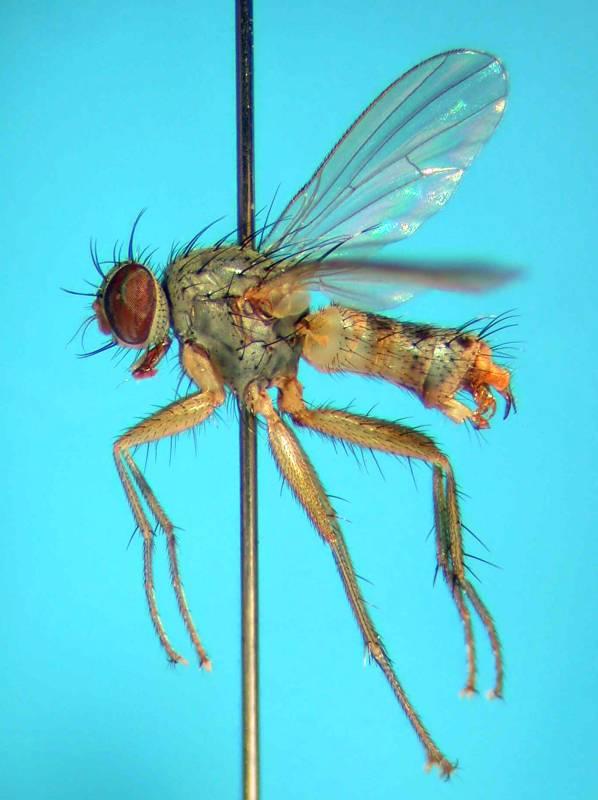 f:id:insectmoth:20170814173519j:plain