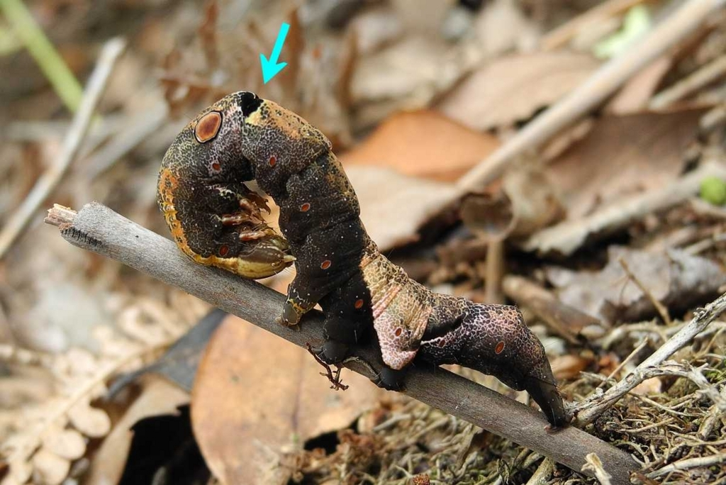 f:id:insectmoth:20170814202902j:plain