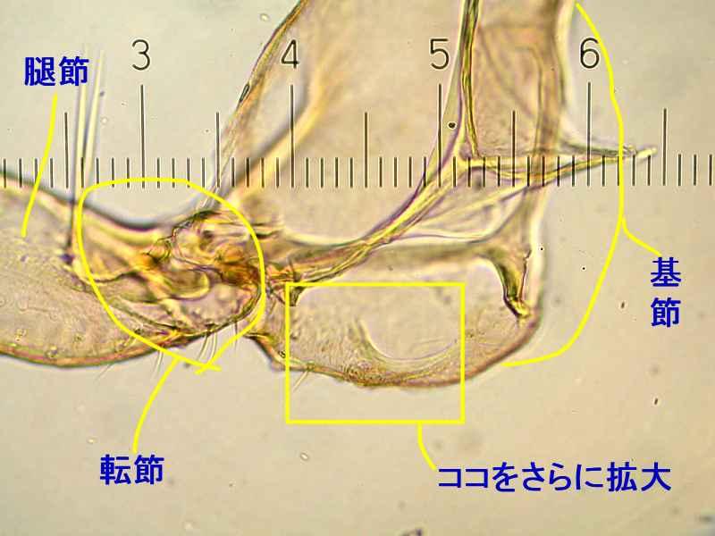 f:id:insectmoth:20171009082255j:plain