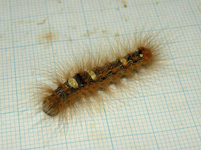 f:id:insectmoth:20171015235611j:plain