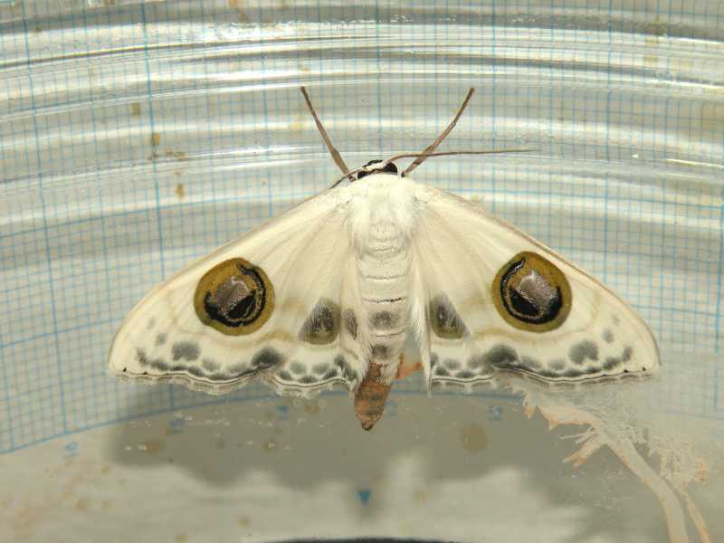 f:id:insectmoth:20171021061304j:plain