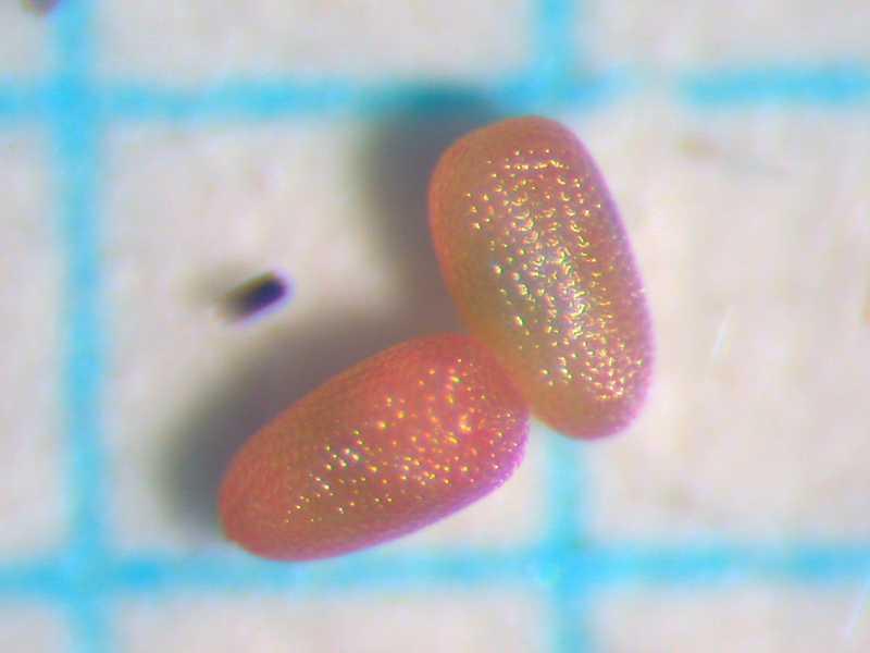 f:id:insectmoth:20171021062304j:plain
