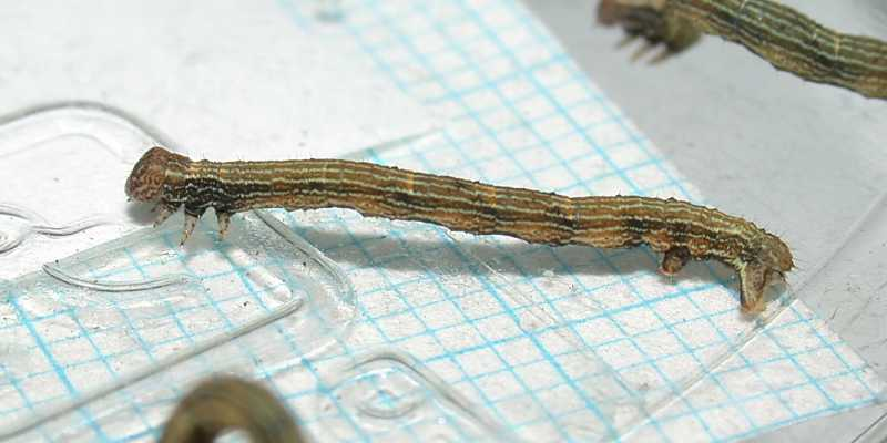 f:id:insectmoth:20171021062521j:plain