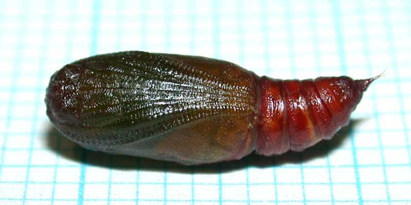f:id:insectmoth:20171021062654j:plain