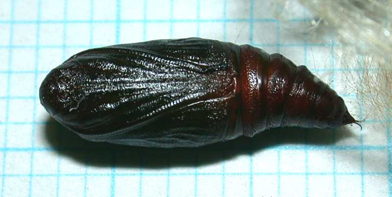 f:id:insectmoth:20171021224834j:plain