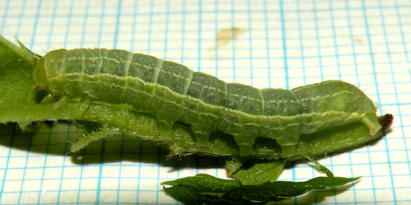 f:id:insectmoth:20171029150815j:plain