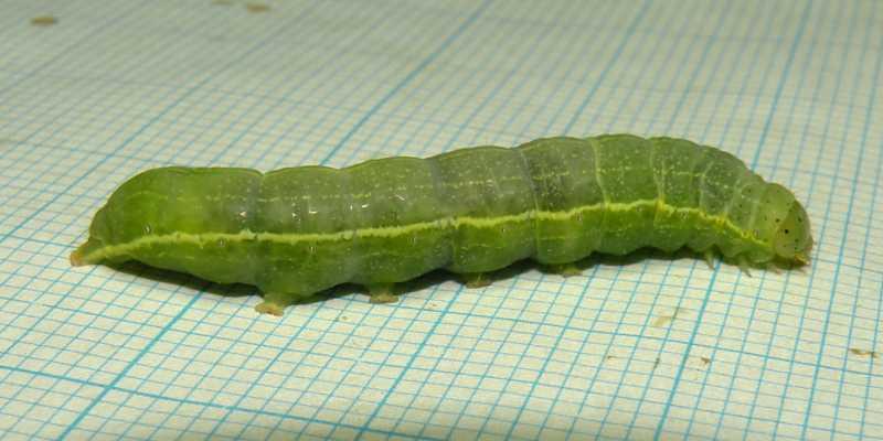 f:id:insectmoth:20171029150848j:plain