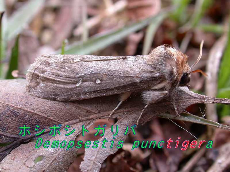 f:id:insectmoth:20171029163352j:plain