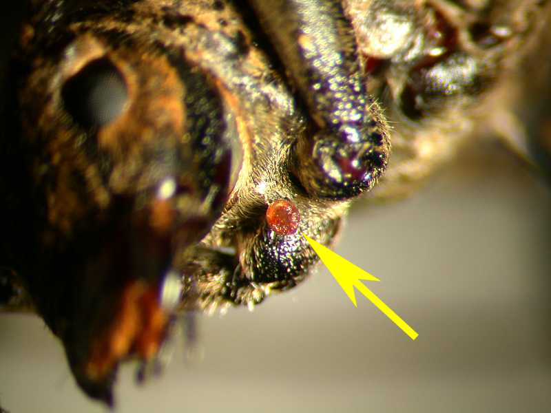 f:id:insectmoth:20171217174249j:plain