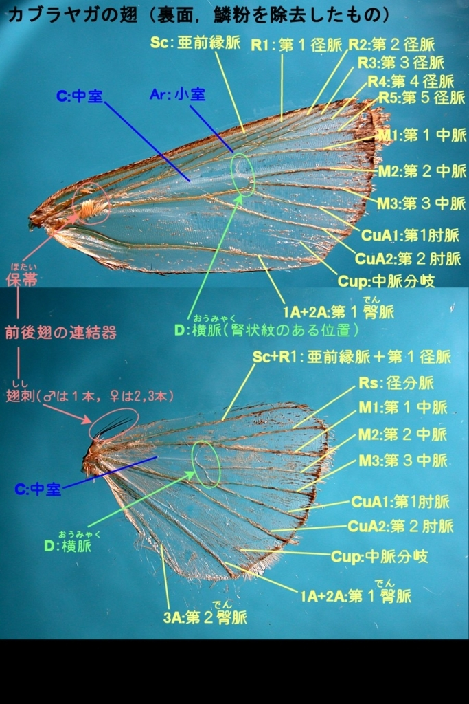 f:id:insectmoth:20180104200951j:plain